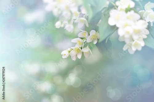 Fotografía Jasmine flower, branch of beautiful jasmine flowers