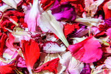 Detail Of Carnation Petals Fal...