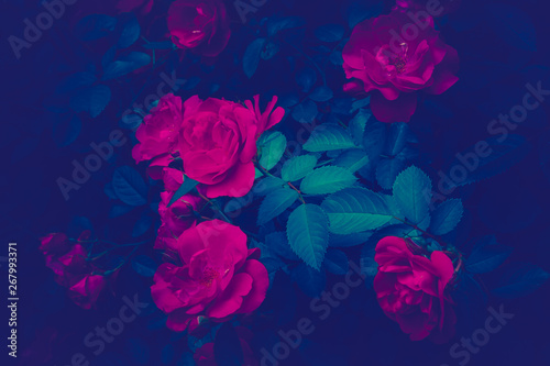 Poster Fleur Trendy color ultra violet concept. Ultraviolet rose flower abstract background.