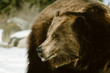 Closeup side view of a Grizzly Bear in the snow