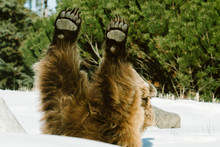Straight On View Of A Grizzly Bear With Its Hands Straight In The Air