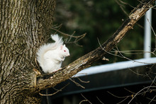 Side View Of An Albino Squirre...
