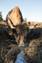 Cropped Image Of A Hand Feeding Dried Grass To A Cow
