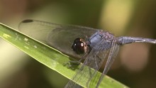 Macro Close-up Profile Shot Of Beautiful Blue Dragonfly On Blade Of Grass Twitching Its Head Before Taking Flight Filmed In The Wild With Natural Light
