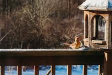 Female Cardinal At A Feeder