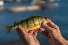 Fisherman Holding Yellow Perch Caught On  St. Clair River, Michigan
