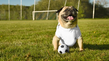 A Small Dog Of The Breed Pug Sits On A Soccer Field. He Wears A White T-shirt, Which Can Be Used As A Mock Up For Your Own Design Ideas. He Looks Happy.