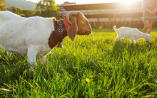Anglo Nubian / Boer Goat Mutton, Grazing On Green Spring Meadow, Small Kid And Blurred Farm With Strong Backlight In Background