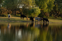 Cows Walking Beside A Lake, Ne...