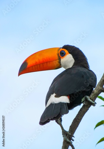 Foto op Canvas Toekan Toucan in a branch , looking to the side