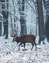 Antlered Deer In Woods