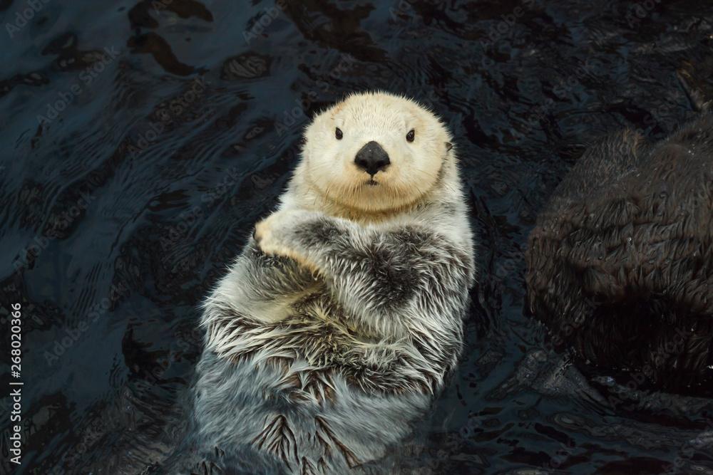 Fototapety, obrazy: Sea otter (Enhydra lutris)