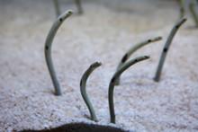Spotted Garden Eel (Heteroconger Hassi).