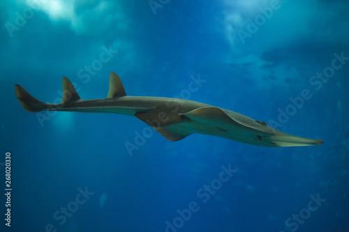 Giant guitarfish (Rhynchobatus djiddensis) Tapéta, Fotótapéta