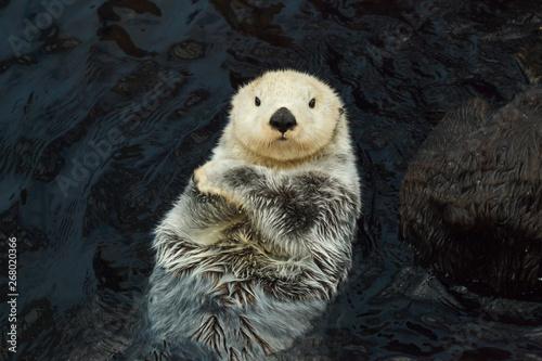 Sea otter (Enhydra lutris) Tablou Canvas