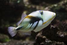 Lagoon Triggerfish (Rhinecanth...