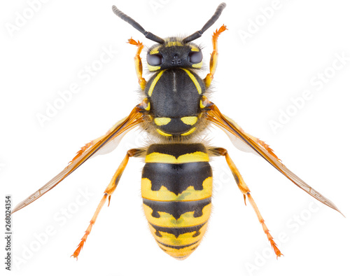 Vespula vulgaris, known as the common wasp or European wasp or common yellow-jacket isolated on white background Canvas-taulu