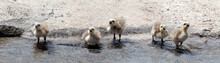 4 Canada Goose Goslings Drinki...