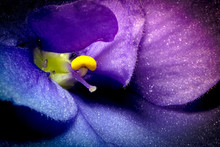Violet Flower Macro Closeup With Beautiful Soft Gradient. Creative Photo Of Violet Flower With Vignette. Texture Of Violet Flower.