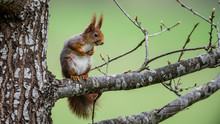 Red Squirrel On An Oak Branch