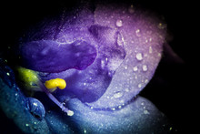 Violet Flower With Water Rain Drops Macro Closeup With Beautiful Soft Gradient. Creative Photo Of Violet Flower With Vignette. Texture Of Violet Flower.