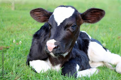 Canvas Very cute newborn Holstein calf laying on the grass