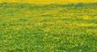 Üppig blühende, gelb grüne Blumenwiese aus Gras und Löwenzahn