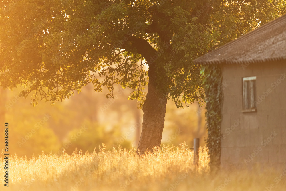 Fototapeta Barn and tree in grass in spring evening sunlight.