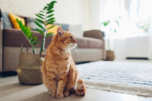 Ginger Cat Sitting On Floor In Cozy Living Room. Interior Decor