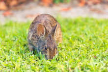 A Wild Brown North American Ra...