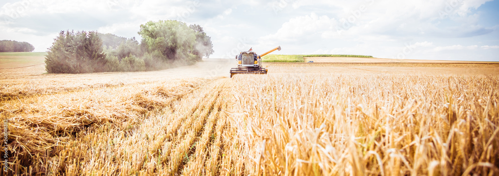 Fototapety, obrazy: Combine harvester harvests ripe wheat. agriculture