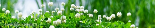 Panorama view of white clover flowers on green color bokeh background - 268048573