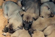 Turkish Breed Shepherd Dog Puppies Kangal As Guarding Dog