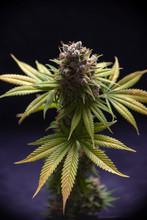 Cannabis Flower (Sour Diesel M...