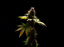 Cannabis Flower (Sour Diesel Marijuana Strain) On A Vase Isolated Over Blac