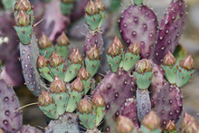 Purple And Green Prickly Pear ...