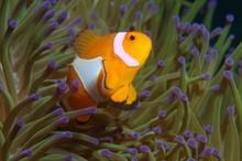 Ocellaris Clownfish, False Per...