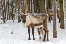 Two Reindeer (Rangifer Tarandus) In Snow, Captive, Kivilompolio, Near Rovaniemi, Lapland, Finland, Europe