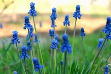 Spring Flowers Muscari - Blue ...