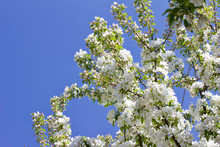 Upward View Of Beautiful White Crabapple Blossoms In Full Bloom