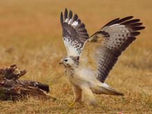 Common Buzzard (Buteo Buteo) S...