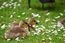 Two Goslings Are Staying On The English Daisy Flower Bed.