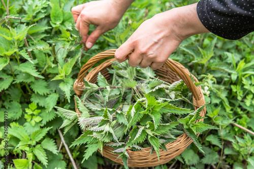 Fotografia Farmer harvesting nettles