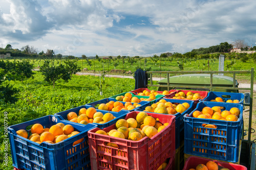 Orange harvest time: colored fruit boxes full of navel oranges in an citrus grove during harvest season in Sicily - 268077349