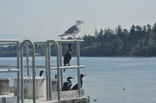 Ferry Dock Birds