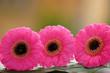 Leinwanddruck Bild - Gerbera Blüte pink Freisteller isoliert
