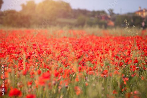 Fototapeta Poppy field obraz na płótnie