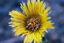 Yellow Dandelion Flower Macro....