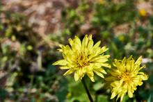Texas False Dandelion - Pyrrhopappus Pauciflorus - Also Called Smallflower Desert-chicory, Texas Dandelion, False Dandelion.