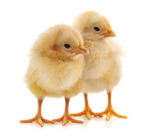 Two Yellow Chicks.